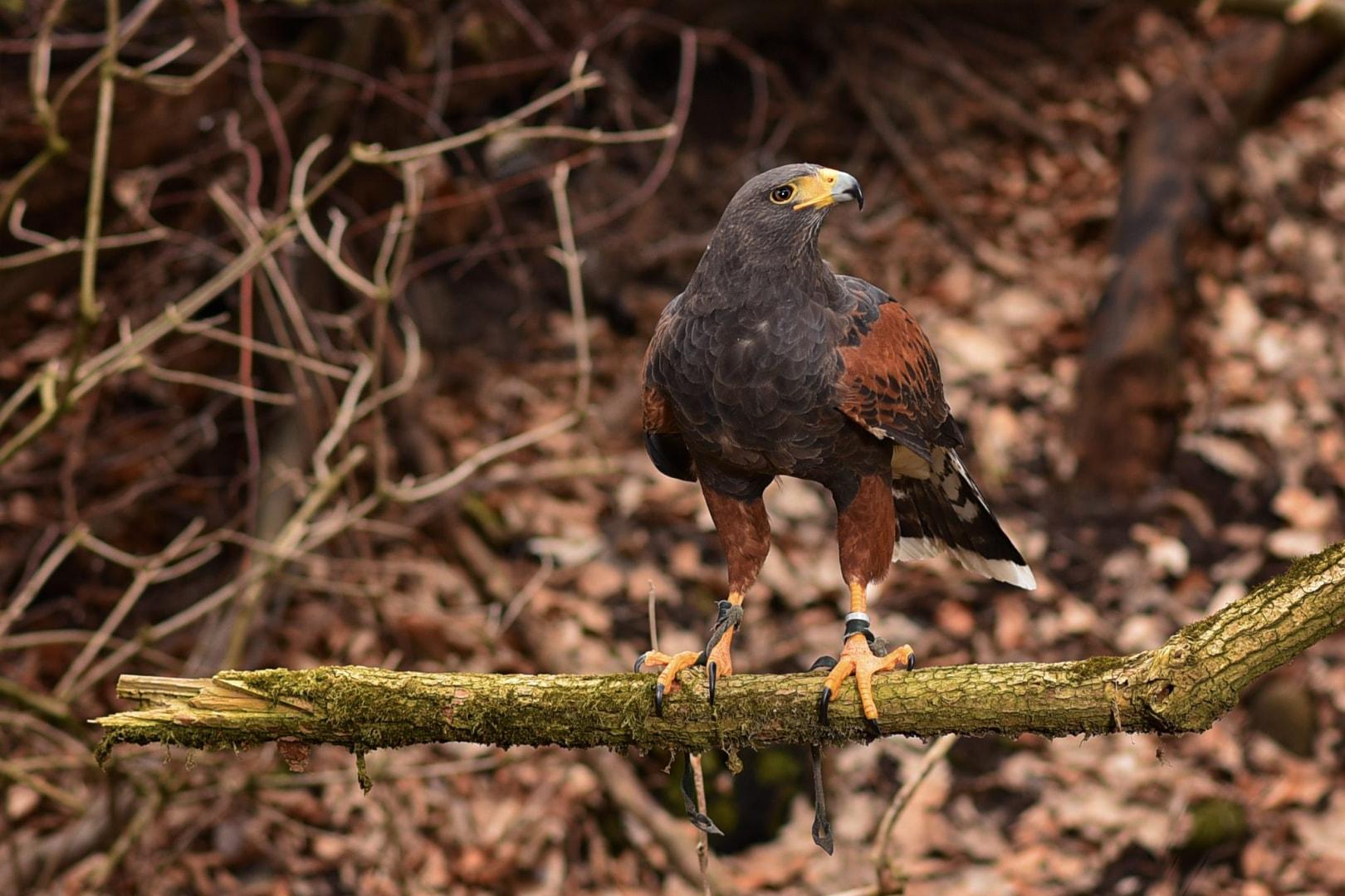 Ragadozó madár bemutató